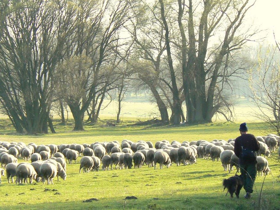 Kecskédi pásztor